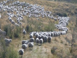 New Zealand countryside with a flock of sheep