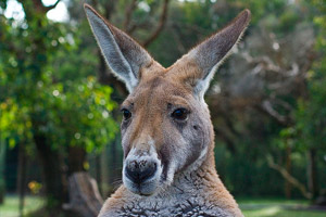 kangaroo-australia
